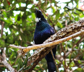 native tui at Hairy Feet Waitomo
