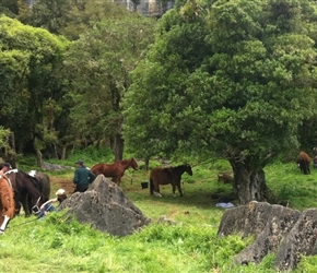 9. Hobbit horses graze before filming Denize Bluffs near Waitomo NZ