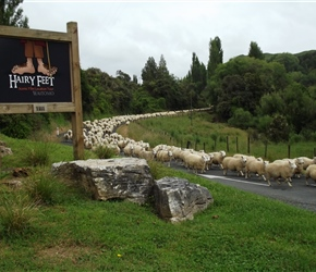 moving sheep in the Mangaotaki Valley Piopio